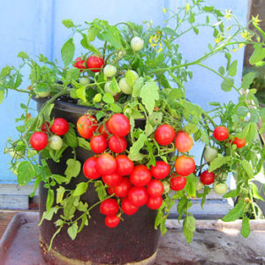 Whippersnapper cherry tomato triple divide seeds for How to grow cherry tomatoes from seeds
