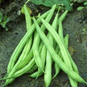 Provider Bush Bean
