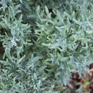 Siberfrill Kale