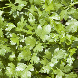 Cilantro Herb Leaves