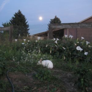 Moonflower, blooming at night