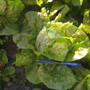 Pirat butterhead lettuce