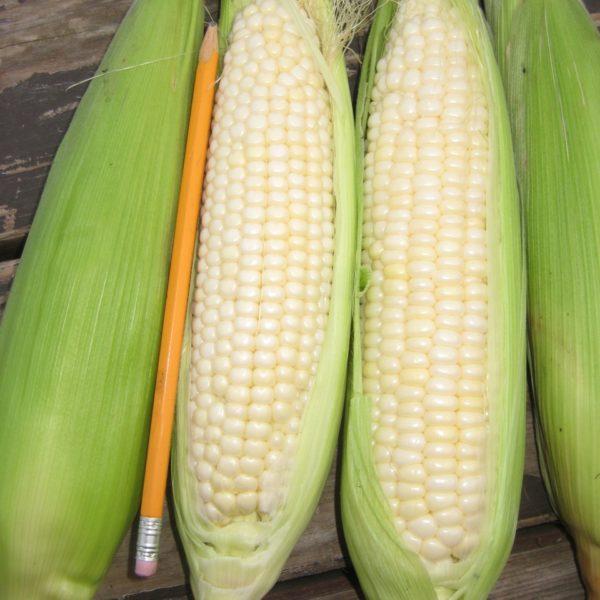 Tuxana sweet corn 2016